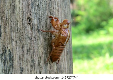The metamorphosed beetle skin that sticks to the tree trunk