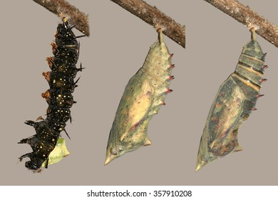 Metamorphosis of beautiful peacock butterfly, caterpillar and pupa