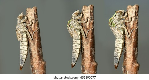 Metamorphosis of Gomphus flavipes, River Clubtail dragonfly