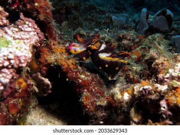 A Metasepia pfefferi more commonly known as Flamboyant cuttlefish Boracay Island Philippines