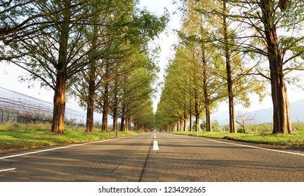 Metasequoia forest at the road