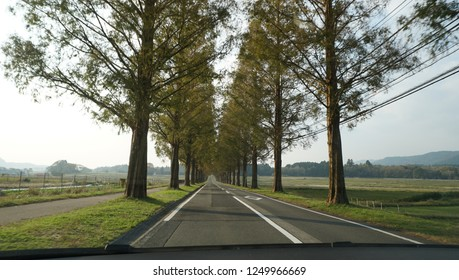 Metasequoia forest at the street