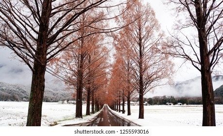 Metasequoia forest with white snow at the street (part1)