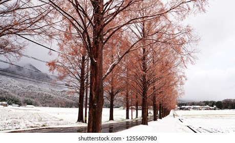 Metasequoia forest with white snow at the street (part4)
