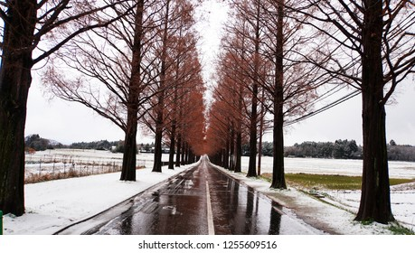 Metasequoia forest with white snow at the street (part5)