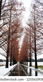 Metasequoia forest with white snow at the street (part6)