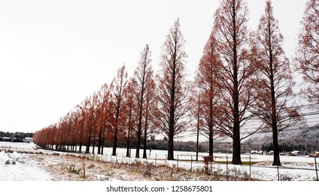 Metasequoia forest with white snow at the street (part13)