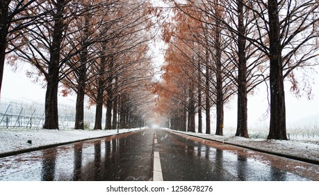Metasequoia forest with white snow at the street (part14)