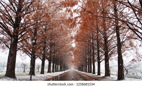 Metasequoia forest with white snow at the street (part15)