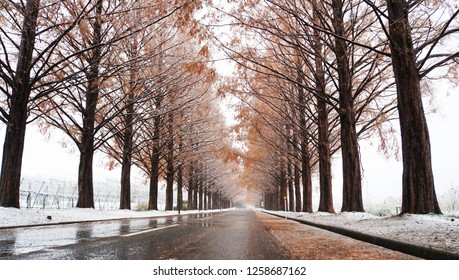 Metasequoia forest with white snow at the street (part16)