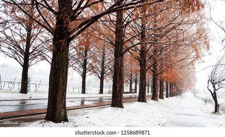 Metasequoia forest with white snow at the street (part17)