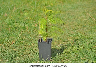 Metasequoia glyptostroboides (dawn redwood) sapling in a container