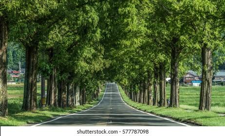 Metasequoia Tree-lined street,Makino-cho,Shiga,japan