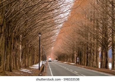 Metasequoia Tree-lined street,shiga,tourism of japan