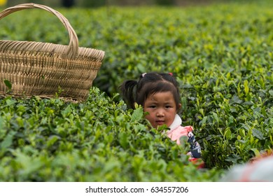 METIAN COUNTY, ZUNYI, GUIZHOU, CHINA - APRIL 29. 2017 - Little girl collects leafs in tea field in Metian County village near town of Zunyi, Guizhou province, China
