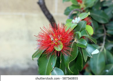 Metrosideros polymorpha - ohia lehua flower pictured close up, photographed in Jerez, Spain