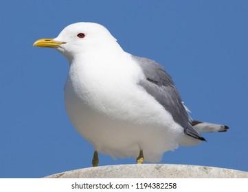 Mew Gull in Alaska