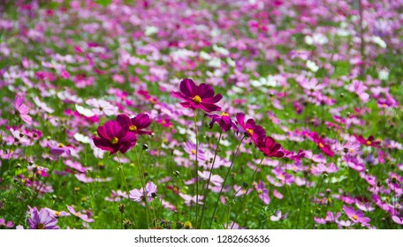 Mexican Aster,Mexican Aster in the field,Cosmos bipinnatus Cav,Sulfur Cosmos,Violet Cosmos,Sulfur Cosmos in the garden