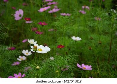 Mexican Aster,Mexican Aster in garden,Outdoor Mexican Aster,Colorful Mexican Aster flower