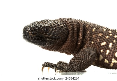 Mexican Beaded Lizard (Heloderma horridum) isolated on white background.