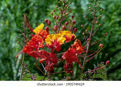Mexican bird of paradise also known as peacock flower and pride of Barbados