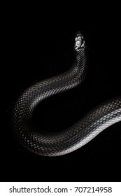 Mexican Black king snake