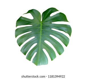 Mexican breadfruit or Swiss cheese plant isolate on white background
