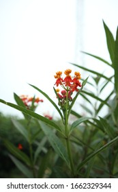 Mexican Butterfly Weed Flower. Asclepias curassavica, commonly known as tropical milkweed, is a flowering plant species of the milkweed genus, Asclepias.
