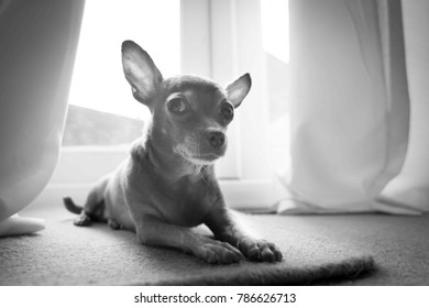 Mexican Chihuahua - UK