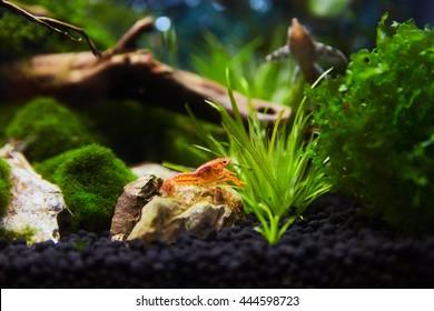 Mexican Crayfish for Nano Aquariu