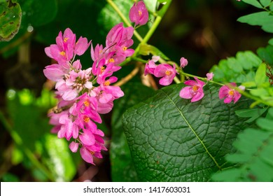 Mexican creeper a.k.a. coral vine (Antigonon leptopus) pink flowers - Pine Island Ridge Natural Area, Davie, Florida, USA