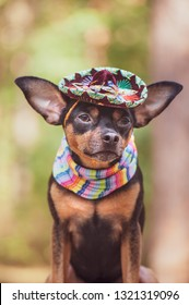 Mexican dog in sombrero and bandage on natural background