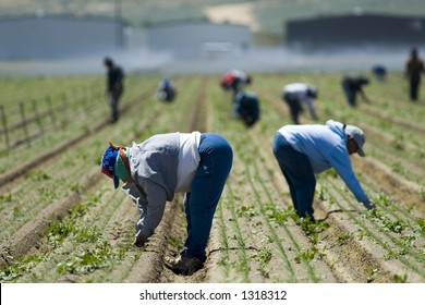 Mexican farm workers weeding in the field by hand, San Joaquin Valley, California