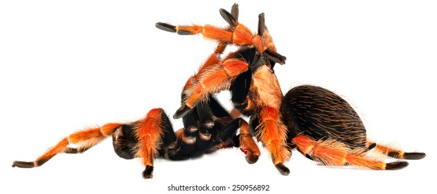 Mexican Fire Leg Tarantula (Brachypelma boehmei) mating in white