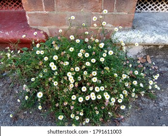 A Mexican fleabane (Erigeron karvinskianus) plant growing as a pavement weed in front of a house in London