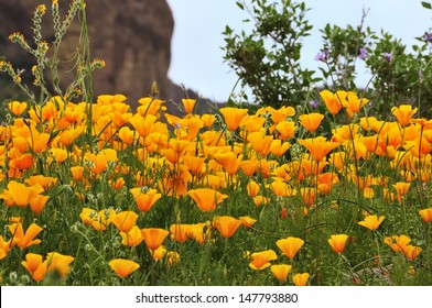 Mexican Gold Poppies in Lost Dutchman State Park, Apache Junction, Arizona