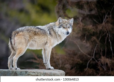 Mexican gray wolf (Canis lupus) standing on rocky ledge