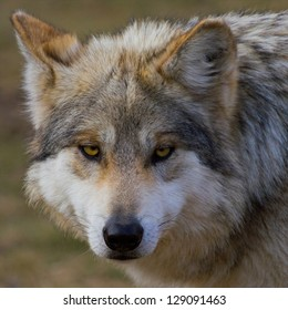 Mexican Gray Wolf Close Up Head Shot