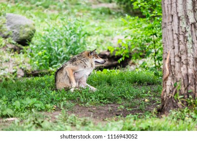 A Mexican Grey Wolf scratching itself in the forest.
