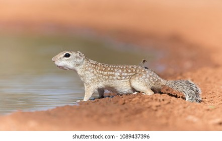 Mexican Ground Squirrel in Southern Texas, USA