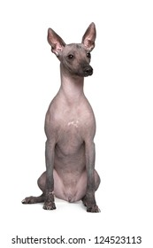 Mexican hairless dog, Xoloitzcuintle on a white background