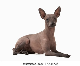 Mexican hairless puppy on white background