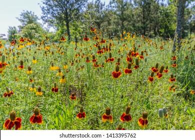 Mexican Hat (Ratibida columnifera) Wildflowers in Texas