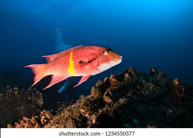 Mexican Hogfish /Bodianus Diplotaenia/ swims among reef. Galapagos.