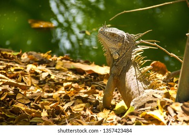 Mexican Iguana in deep jungle