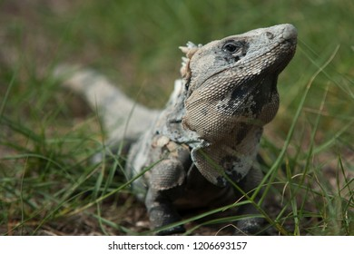 Mexican iguana in the grass