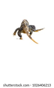 Mexican iguana isolated on the white background