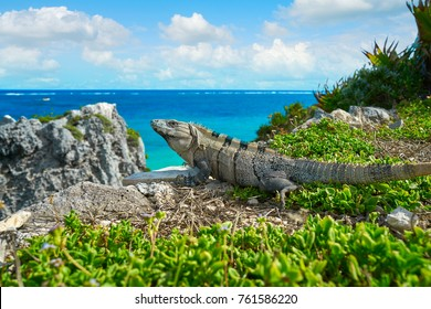 Mexican iguana in Tulum with Caribbean sea of Riviera Maya Mexico