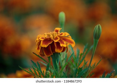Mexican marigold in garden. Red and yellow beautiful marigold flower in orange background