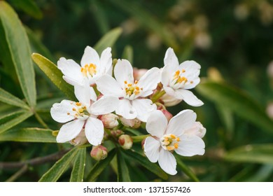 Mexican orange blossom flowers in a garden during spring